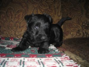 Scottish TerrierFor Sale for sale