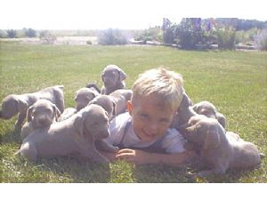 WeimaranerFor Sale for sale