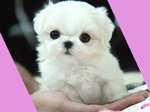 Teacup American Eskimo Puppies Goldenacresdogs Com