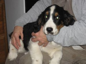English springer spaniel puppies for sale akc registered tri colored