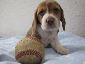 Beagle Puppies For Sale Beagles Akc Brownwhite For Sale Mn