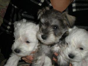Schnauzer, Miniature puppy for sale near New York City, New York ...