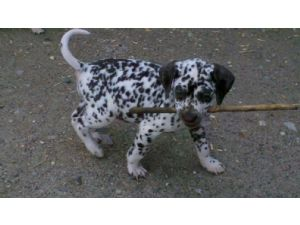 Dalmatian Puppies For Sale Akc Wow Dalmatians Liver And White