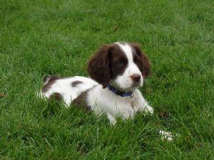 English Springer Spaniel Puppies For Sale: Cedar Knoll Kennel