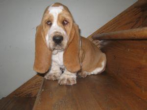 Basset Hound Puppies For Sale Gorgeous Basset Hounds Puppies