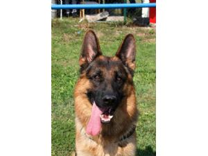 German Shepherd Dog breeder directory