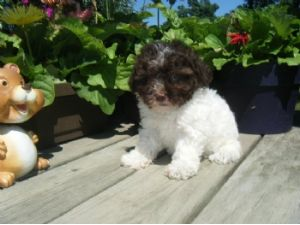 For Sale Teacup Toy Poodle