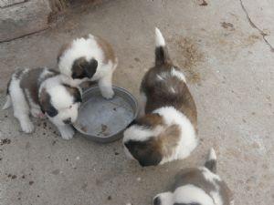 Saint Bernard Puppies For Sale: St  Bernard Puppies AKC