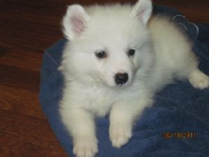 American Eskimo for sale