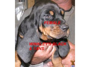 Black and Tan CoonhoundFor Sale for sale