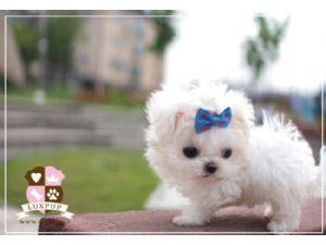 Maltese Puppies For Sale: Teacup maltese boy!