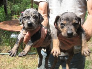 Catahoula Leopard Dog Puppies For Sale: NALC Catahoula