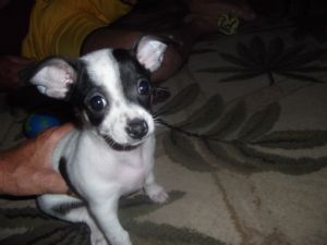 Chihuahua Puppies For Sale: Gorgeous Deer head Chihuahua puppies