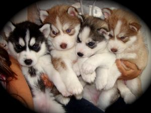 Siberian HuskyFor Sale for sale