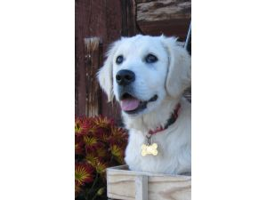 Golden RetrieverFor Sale breeder directory