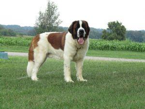 Saint Bernard Puppies For Sale Saint Bernard Puppies Born Feb 6 2012