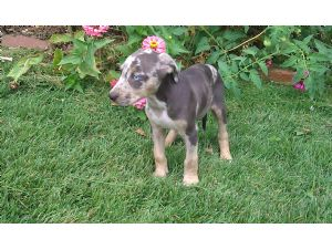 Catahoula Leopard Dog Puppies For Sale: NALC registered