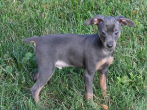 2 purebred doberman pinscher puppies for sale. 1 male and 1 female. 1 black & tan 1 rust. Has had third round shots, dewormed, and paperwork is included.