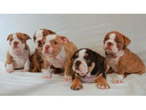 BulldogFor Sale breeder directory