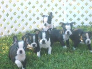 Boston TerrierFor Sale for sale