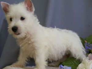 West Highland White Terrier Puppies For Sale: West Highland