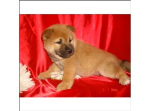 Shiba-Inu for sale