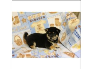 Dogs for sale, Puppies in New York (NY)