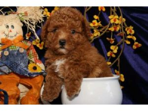 Miniature Poodle
