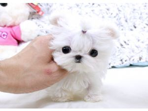 Maltese Puppies For Sale: Micro Teacup Maltese Puppies For