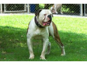 American Bulldog Puppies For Sale 100 Johnson American