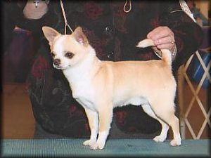 Chihuahua breeder directory