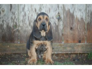 Bloodhound Puppies For Sale: Howlin Hounds Breeder of