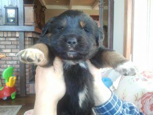 MastiffFor Sale for sale