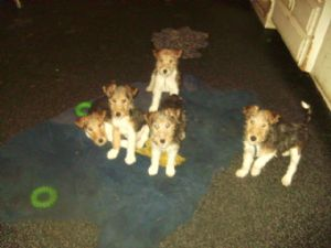 Fox Terrier (Wire)For Sale for sale