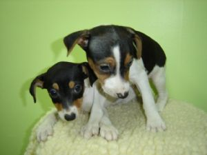 Fox Terrier (Smooth)For Sale for sale