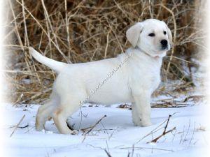 Labrador Retriever Puppies For Sale: AKC White/Ivory