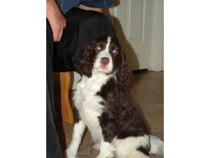 English Springer SpanielFor Sale for sale
