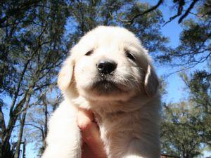 Australian Cattle DogFor Sale for sale