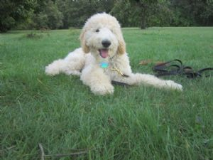 Standard Poodle breeder directory