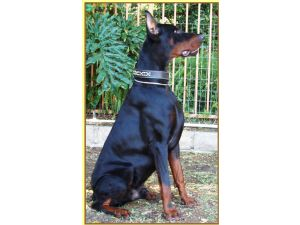 Doberman PinscherFor Sale breeder directory