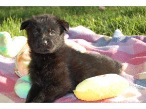 German Shepherd DogFor Sale for sale