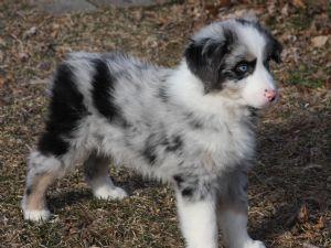 Miniature Australian Shepherd Puppies For Sale: ADORABLE