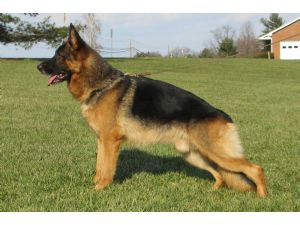 German Shepherd Dog stud