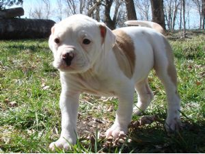 American BulldogFor Sale for sale
