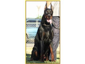 Doberman Pinscher