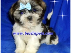Shih Tzu