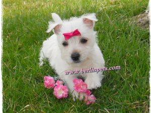 West Highland White Terrier for sale