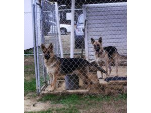 German Shepherd DogFor Sale stud