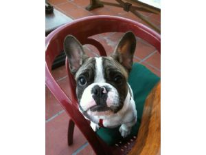 French BulldogFor Sale stud