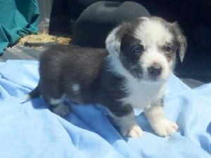 Cardigan Welsh Corgi for sale